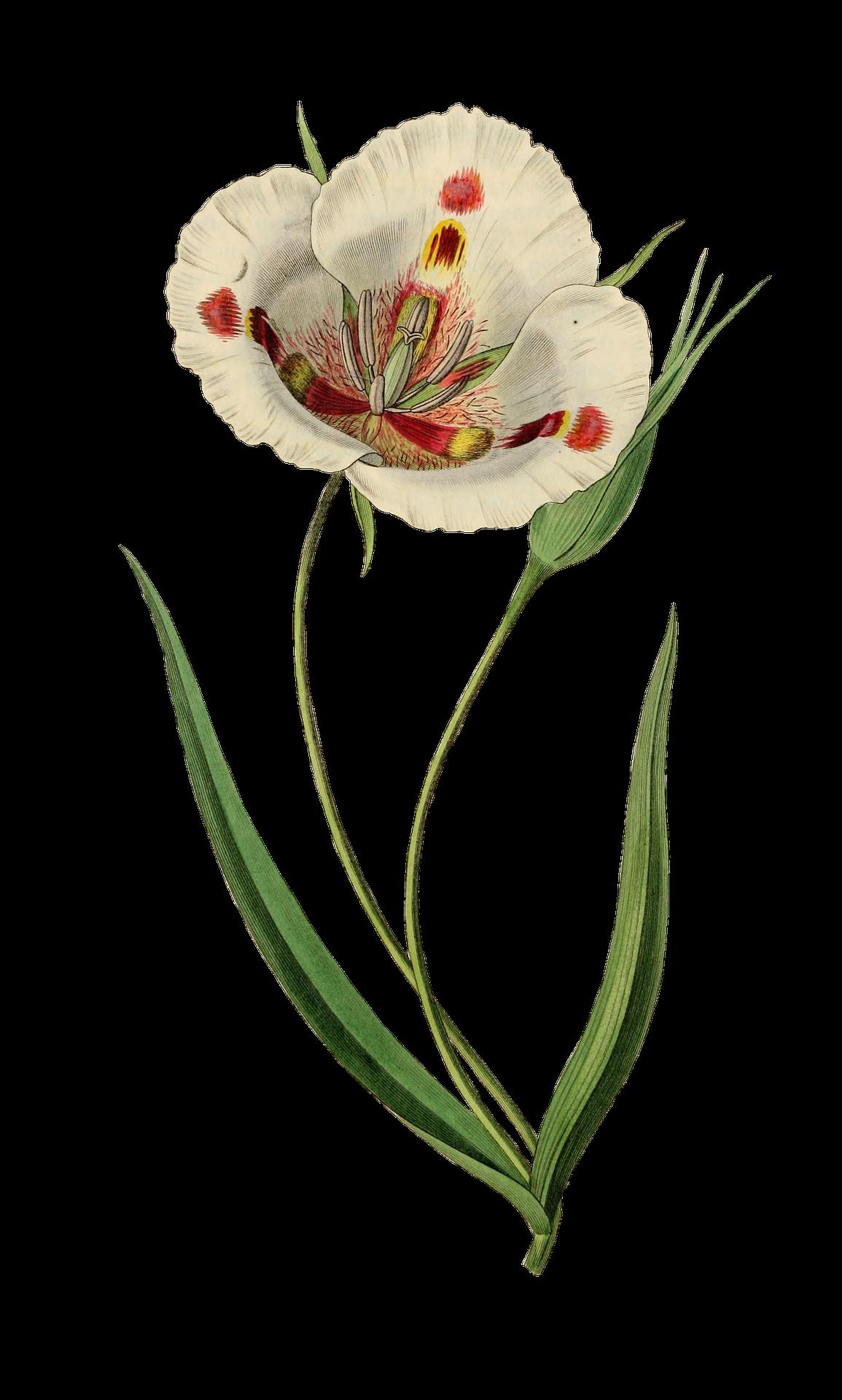 tulip-1952016_1920